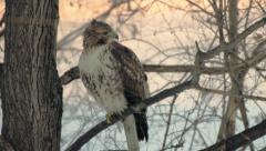 Hawk along the Illinois River Stock Footage