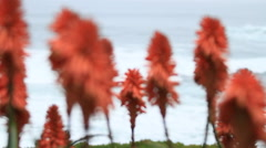 Selective focus view of red aloe blossoms. - stock footage