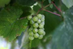 Stock Photo of Cluster of a grapes