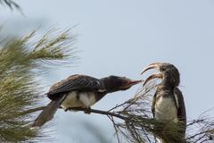 Two African Grey Hornbills fighting with their beak - stock photo