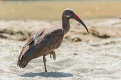 Wattled Ibis - stock photo