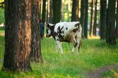 A black-white cow - stock photo