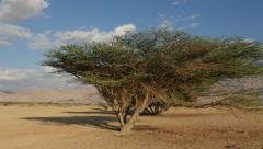 Desert Acacia tree 4K Stock Footage