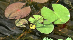 Biotope with lily pad Stock Footage