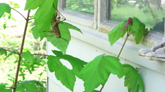 Eastern Lubber Grasshopper Climbs Plants Next To House Window Stock Footage