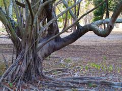 Stilt root - stock photo