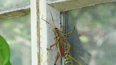 Eastern Lubber Grasshopper Falls Off Glass Window Of House Stock Footage