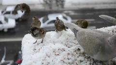 Doves and sparrows feeding time Stock Footage