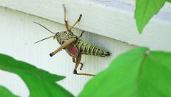 Eastern Lubber Grasshopper Hanging On Side Of House Stock Footage