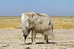 namibia dust elephant - stock photo