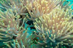 Clownfish and anemone on a tropical coral reef Stock Photos