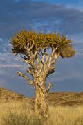 namibia quiver tree - stock photo