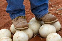 Ostrich eggs 1 - stock photo