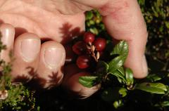Picking lingonberries Stock Photos