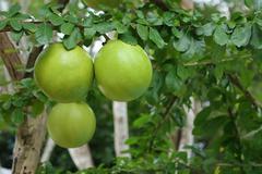 green calabash tree, wild crescentia - stock photo
