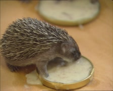 Orphaned Hedgehog (3 weeks old) eating from a saucer Stock Footage