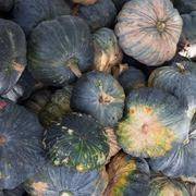 green pumpkin vegetable of agriculture harvesting - stock photo