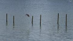Seagull flying past wooden posts Stock Footage