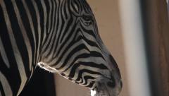 Zebra close up Stock Footage