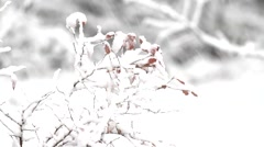 Snow covered leaves of blueberry bush Stock Footage