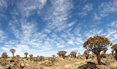 quiver tree forest - stock photo