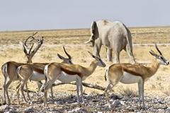 Springbok elephant Stock Photos
