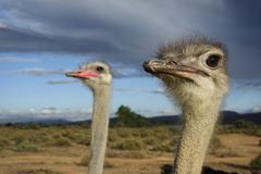 Ostrich - couple watching sky - female focussed - stock photo