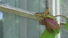 Eastern Lubber Grasshopper Reaching For Glass Window Of House 03 Stock Footage