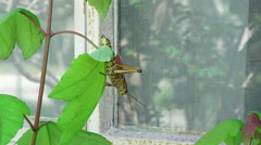 Eastern Lubber Grasshopper Reaching For Glass Window Of House 04 - stock footage