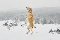 Yellow labrador retriever is jumping in wintry landscape - stock photo