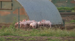 pigs in a field - stock footage
