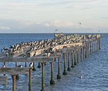 Abondoned Pier Inhabited by Cormorants Stock Photos