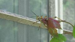 Eastern Lubber Grasshopper Reaching For Glass Window Of House - stock footage