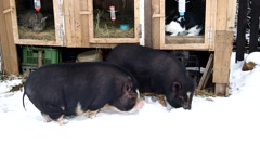 Two Vietnamese pigs in snow Stock Footage
