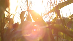 Closeup of a field of corn farm with flare . - stock footage