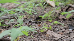 Ants from the jungle carrying leafs (I) Stock Footage