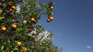 Stock Video Footage of Oranges handing in tree on sunny, breeze day