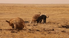 Baby Dogs playing at Desert Stock Footage