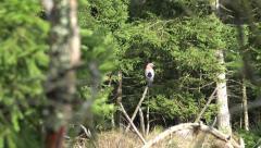 4k Jay bird zoomed light forest area mountain range Harz Stock Footage