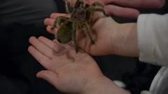 Tarantula Crawling Across Person's Hands - stock footage
