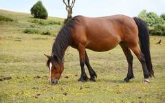 Bay pony in foal grazing in the New Forest Stock Photos