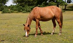 New Forest pony in the sunshine - stock photo