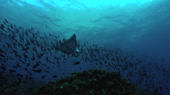 Eagle ray swimming in ocean Stock Footage