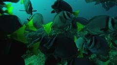 School of Razor surgeonfish swimming in ocean Stock Footage