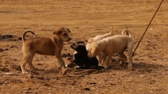 Baby Puppy Dogs Play in Rural Desert Area Stock Footage