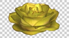 Rose Bloom - Yellow - Close Loop - Alpha Channel - 30 fps Stock Footage