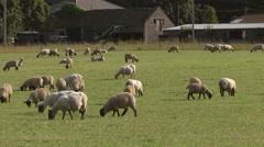 Sheep in a field in Suffolk, UK Stock Footage
