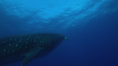 Whale shark swimming in ocean Stock Footage