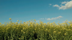 Canola Crop and Blue Skies - stock footage