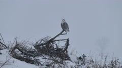 4K UHD - Snowy Owl (Bubo Scandiacus) perched and looking around with snowfall Stock Footage